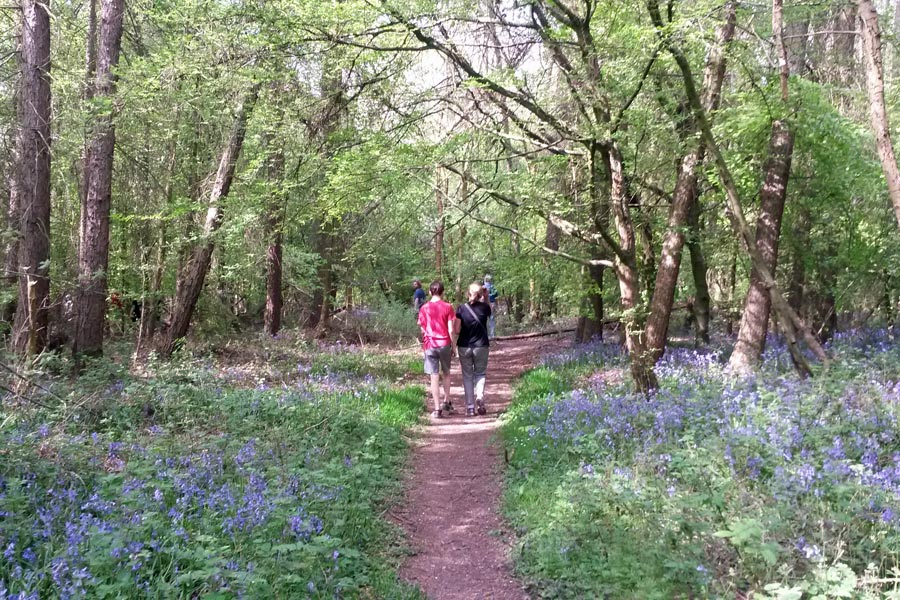 Bluebell walk, Chesham Bois Beating the Bounds Walk May 2016