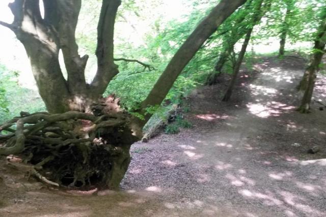 Old Woodland, Chesham Bois Beating the Bounds Walk May 2016