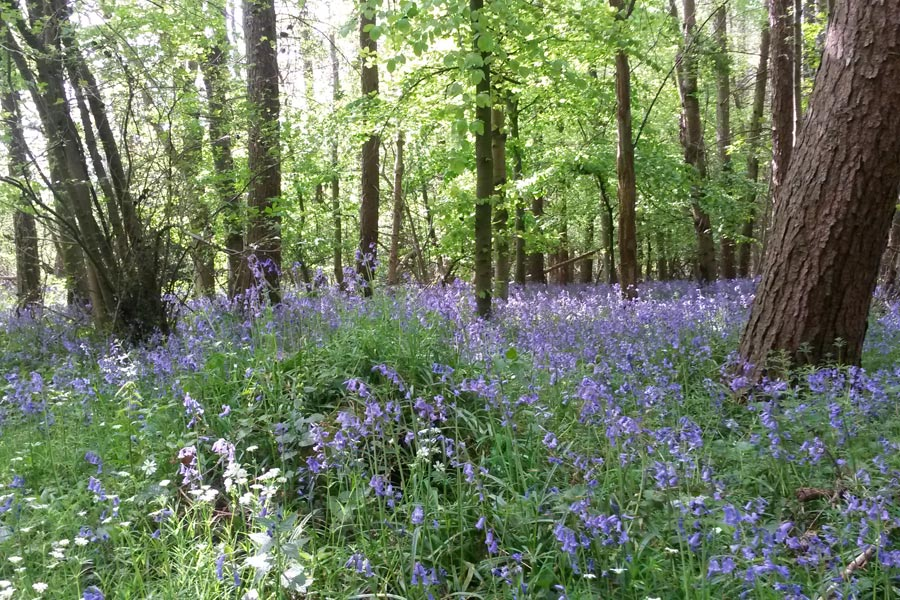 Bluebells, Chesham Bois Beating the Bounds Walk May 2016