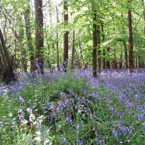 bluebell wood in chesham bois