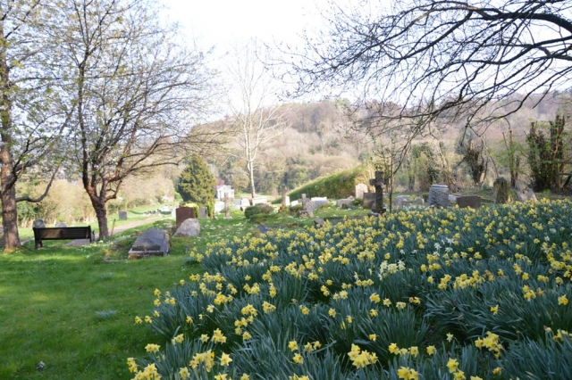 Daffodils in Chesham Bois Burial Ground