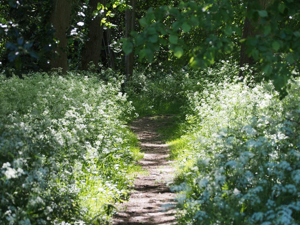 Cow Parsley on the Common Triangle taken in May 2020