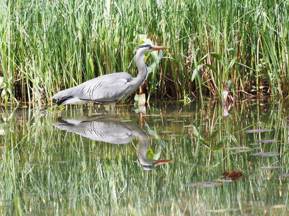 Heron at the Pond: May 2020
