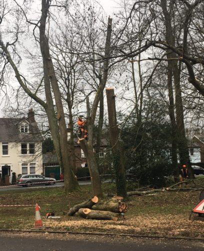 felling-three-ash-trees-behind-war-memorial-Jan-2021